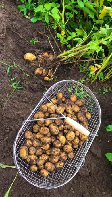 aardappelen kweken moestuin tips aardappen poten rooien oogsten bewaren fromseedtotable.nl moestuintips