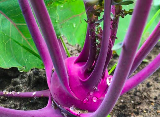 Koolrabi zaaien, kweken en succesvol oogsten in je eigen moestuin