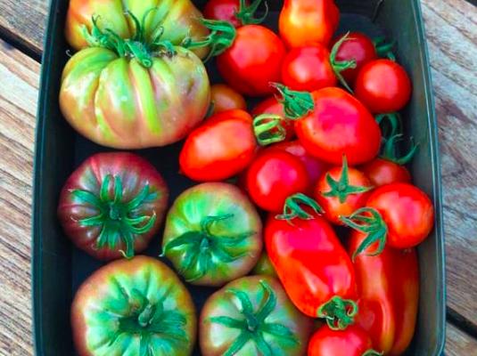 Zo kweek jij smaakvolle tomaten in jouw moestuin. Wanneer zaai en oogst je tomaten uit eigen tuin?