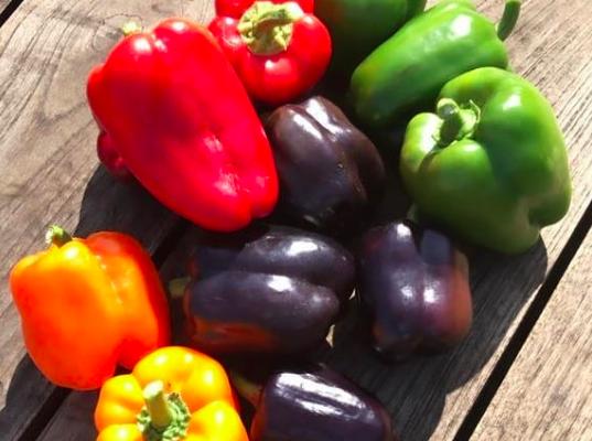 Paprika in de moestuin. Paprika zaaien, kweken en oogsten in de moestuin.